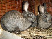 Продаю кроликов породы Бельгийский и Серый великан,  Новозеландская белая.