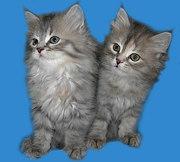 Изумительные голубые котята