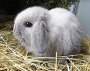 Декоративные вислоухие крольчата.