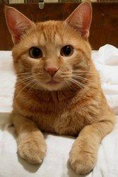 Отдадим в хорошие и добрые руки рыжего котика в связи с переездом!