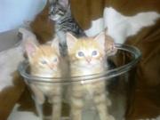 Очень симпатичные рыженькие (и не только) котята