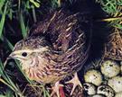 Птичка,  несущая золотые яйца!