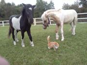 Продаются шетлендкие пони. Питомник пони. Калининград.