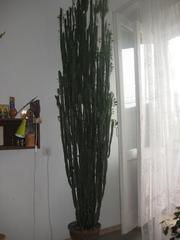 Высокий кактус молочай (2, 5 м)