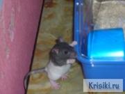 Отдаю-крысу